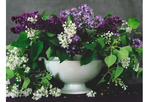Bouquets - Lilas